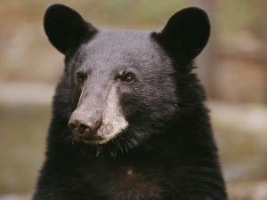 Portrait of a Black Bear by Melissa Farlow