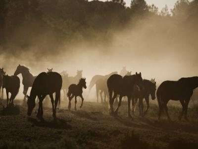 Protected Mustangs in the Morning Mist at the Wild Horse Sanctuary