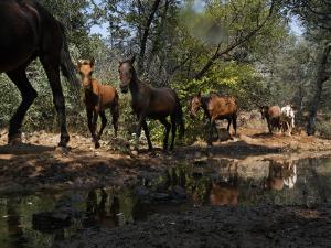 Protected Wild Horses Come to a Water Hole in Order of Dominance by Melissa Farlow