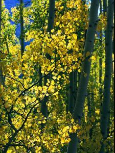 Sunlight Filters Through the Autumn Leaves of Aspen Trees by Melissa Farlow