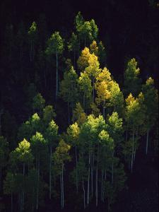 Sunlight Highlights Aspen Trees in Their Fall Colors Near Silverton by Melissa Farlow