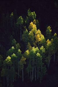 Sunlight highlights aspen trees in their fall colors near Silverton. by Melissa Farlow