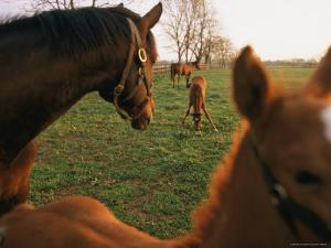 Thoroughbred Mares and Foals in Pasture by Melissa Farlow
