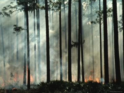 Tree Trunks Wreathed in Smoke from a Forest Fire