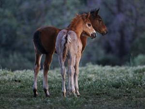 Two Foals Watch Studs Fight, Learning the Behavior They Will Imitate by Melissa Farlow