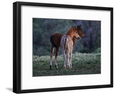 Two Foals Watch Studs Fight, Learning the Behavior They Will Imitate