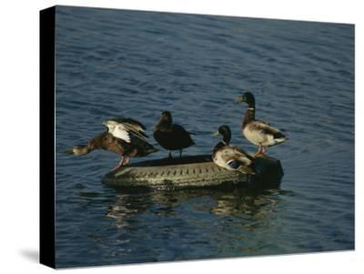 Two Pairs of Mallards Balance on a Floating Tire