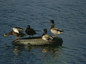 Two Pairs of Mallards Balance on a Floating Tire by Melissa Farlow