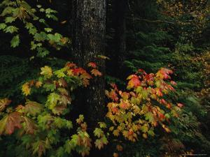 Vine Maple Leaves Displaying Bright Autumn Colors by Melissa Farlow