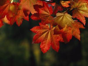 Vine Maple Leaves To Displaying Bright Autumn Colors by Melissa Farlow