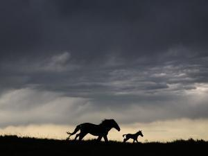 Wild Horse and Foal Running Free in a Mustang and Burro Sanctuary by Melissa Farlow