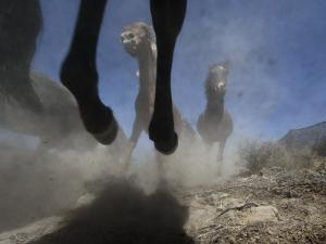 Wild Horses Kick Up Dirt as They Gallop Through the Dry Nevada Desert by Melissa Farlow