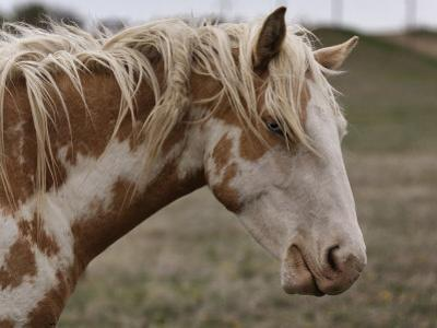 Wild Mustang with a Blue Eye at a Wild Horse Conservation Center