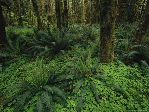 Woodland Rain Forest View with Mosses, Ferns, and Wood Sorrel by Melissa Farlow