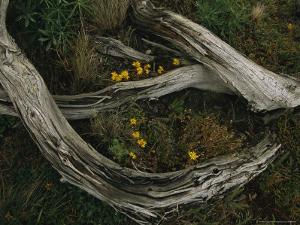 Yellow Wildflowers Blooming Around a Decaying Log by Melissa Farlow
