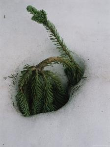 Young Evergreen Tree Doubled over in Deep Snow by Melissa Farlow