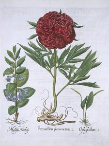 Melissa, Paeony and Odontoglossum, from Hortus Eystettensis, by Basil Besler