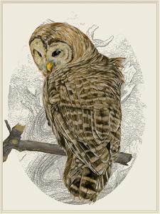 Barred Owl II by Melissa Wang
