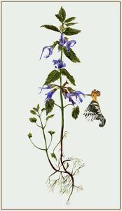 Salvia Miltiorrhiza II by Melissa Wang