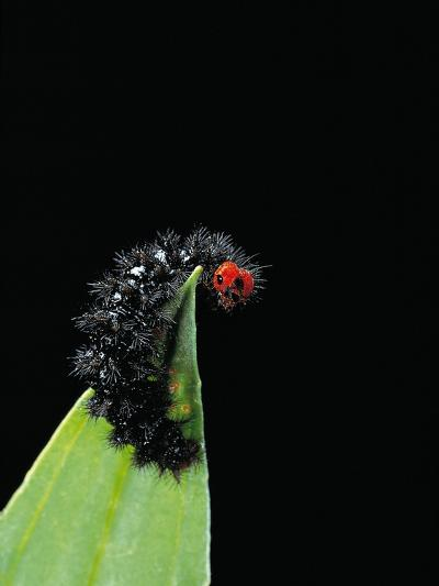 Melitaea Cinxia (Glanville Fritillary) - Black Spiny Caterpillar-Paul Starosta-Photographic Print