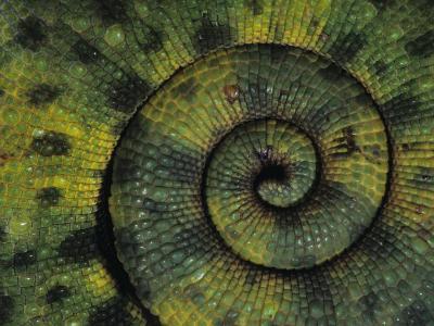 Meller's Chameleon, Chamaeleo Melleri, Tail Detail, Tanzania-Joe McDonald-Photographic Print
