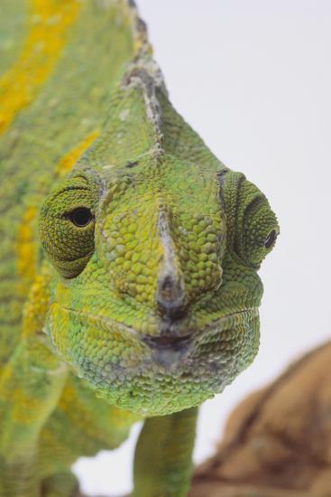 Meller's Chameleon-DLILLC-Photographic Print
