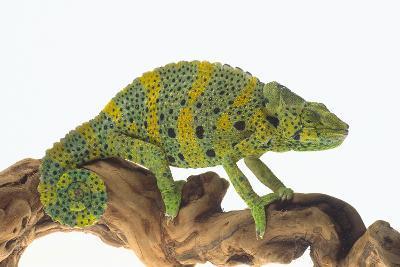 Meller'schameleon-DLILLC-Photographic Print