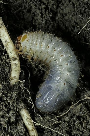 Melolontha Melolontha (Cockchafer, Maybug) - Larva or White Grub in Earth-Paul Starosta-Photographic Print