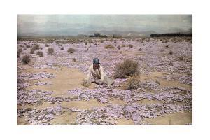 A Woman Sits Among the Carpet of Wild Flowers in Little Karoo by Melville Chater