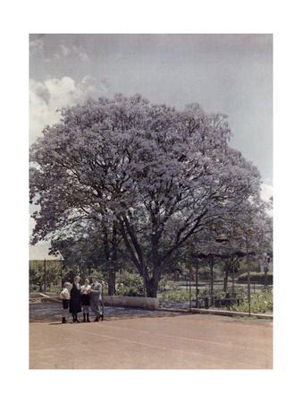 Locals Relax under a Blooming Jacaranda Tree