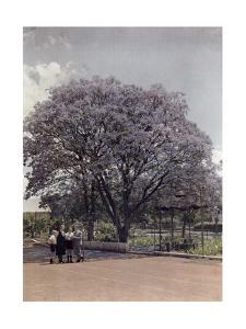 Locals Relax under a Blooming Jacaranda Tree by Melville Chater