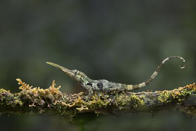 Pinocchio Lizard (Anolis Proboscis) Male, Mindo, Ecuador. Controlled Conditions