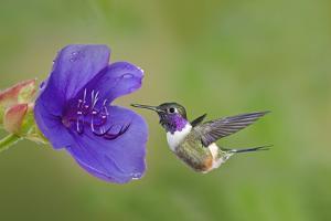 Purple-Throated Woodstar Hummingbird (Calliphlox Mitchellii) Flying to Garden Flower by Melvin Grey
