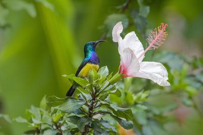 Variable Sunbird (Nectarinia Venusta) Adult Male on Hibiscus Flower, Nairobi, Kenya