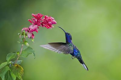 Violet Sabrewing Hummingbird (Campylopterus Hemileucurus) Hummingbird Male Flying