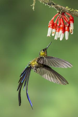 Violet-Tailed Sylph Hummingbird (Aglaiocercus Coelestis) Hummingbird Adult Male