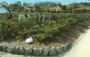 Men In Artichoke Field with Rabbit