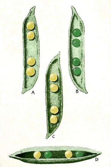 Mendel's Peas-Sheila Terry-Photographic Print