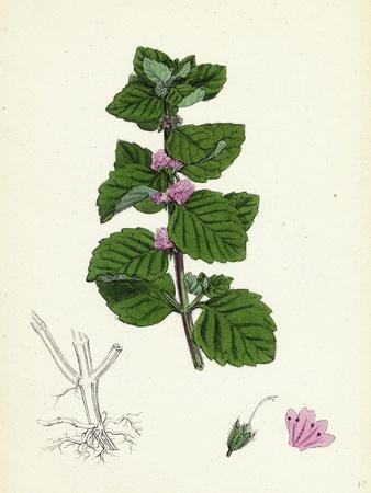 Mentha Arvensis Var. Agrestis Corn Mint Var. Y--Giclee Print