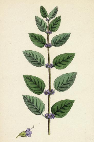 Mentha Arvensis Var. Allionii Corn Mint Var. E--Giclee Print