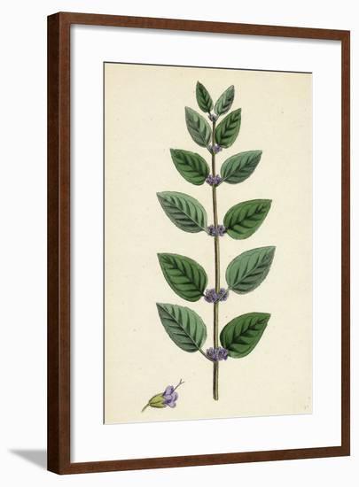 Mentha Arvensis Var. Allionii Corn Mint Var. E--Framed Giclee Print