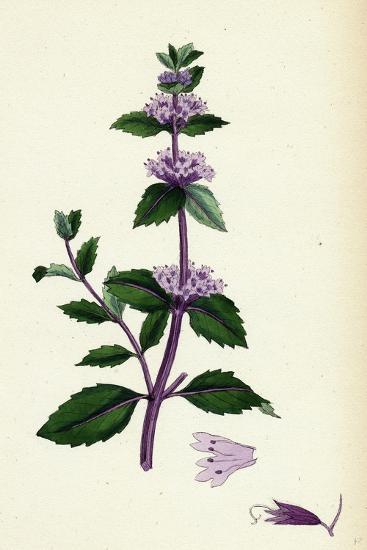 Mentha Rubra Tall Red Mint--Giclee Print