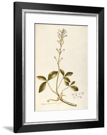 Menyanthaceae--Framed Giclee Print