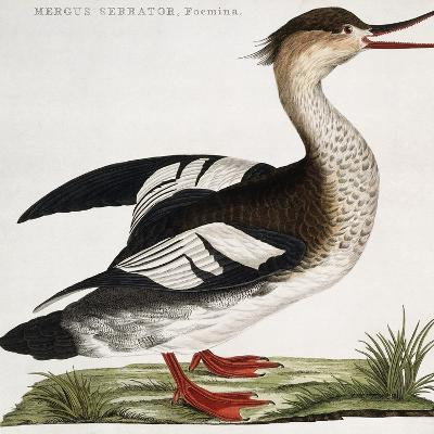 Mergus Serrator, Foemina--Giclee Print