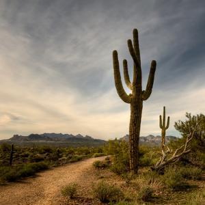 Saguaro by Merilee Phillips