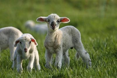 https://imgc.artprintimages.com/img/print/merino-sheeps-lambs_u-l-q11w95c0.jpg?p=0