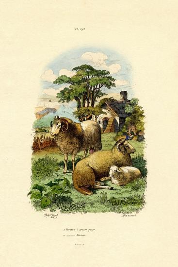 Merinosheep, 1833-39--Giclee Print
