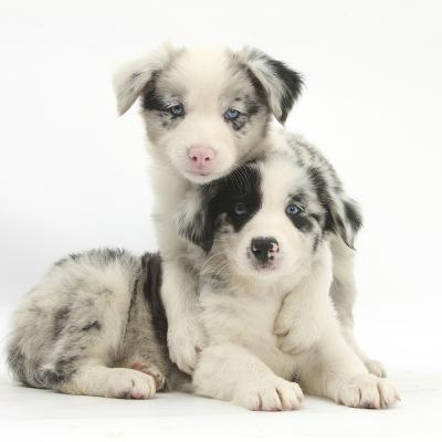 Merle Border Collie Puppies-Mark Taylor-Photographic Print