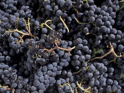 Merlot Grapes Ready to Crush, Terra Blanca Winery, Benton City, Washington, USA-Connie Ricca-Photographic Print