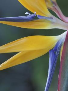 Bird of Paradise, Hana, Maui, Hawaii, USA by Merrill Images